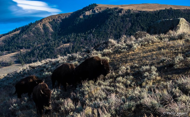 Wildlife in the USA - Bison