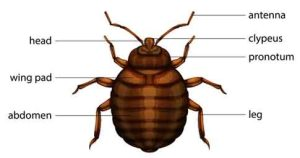 Picture of Bed Bugs, Anatomy and Diagram