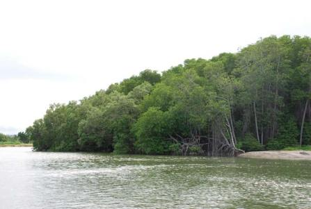 Mangrove forests 100 years - Pran Buri Forest Park