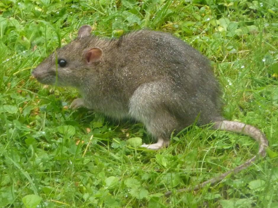 rat gris estrie