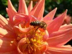 Honigbienen, Bienen