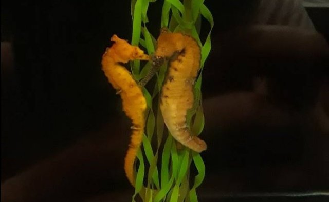 seahorses-farming