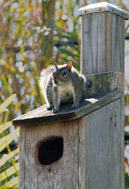 Squirrel on owl nestbox