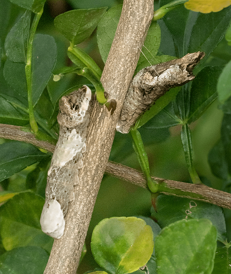 Larger Caterpillar and Chrysalis of Giant Swallowtail Butterfly
