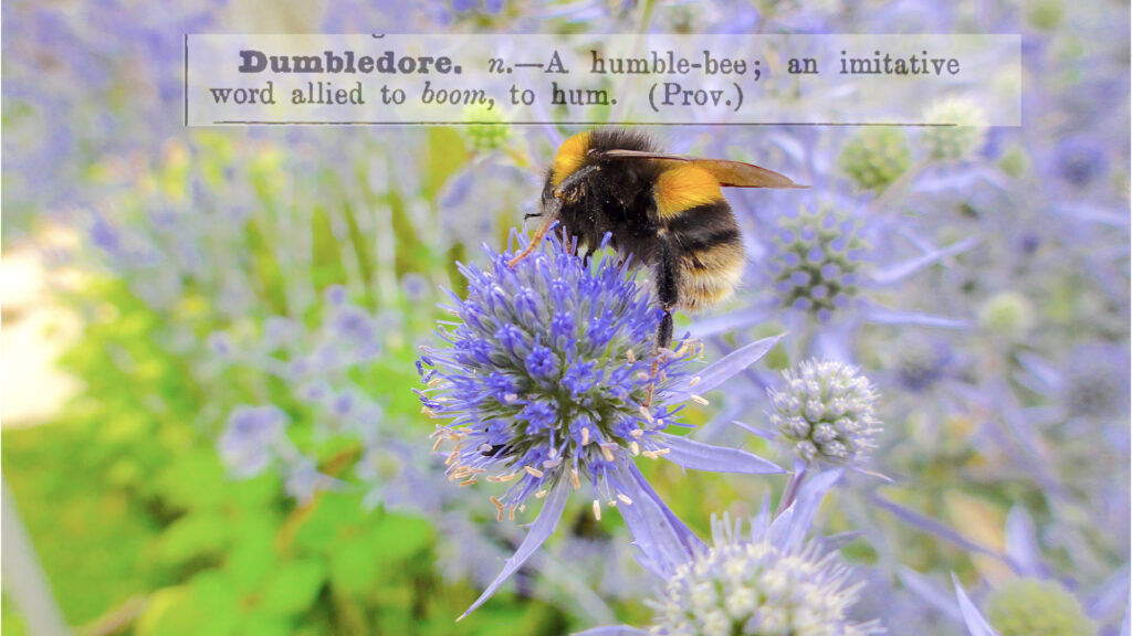 A bumble bee once called a humble bee is foraging an eryngium flower. A definition of Dumbledore is above - which means bumblebee. #WantageHoney, #BeehiveYourself, #Dumbledore, #BumblebeeOnA bumble bee once called a humble bee is foraging an eryngium flower. A definition of Dumbledore is above - which means bumblebeeEryngium