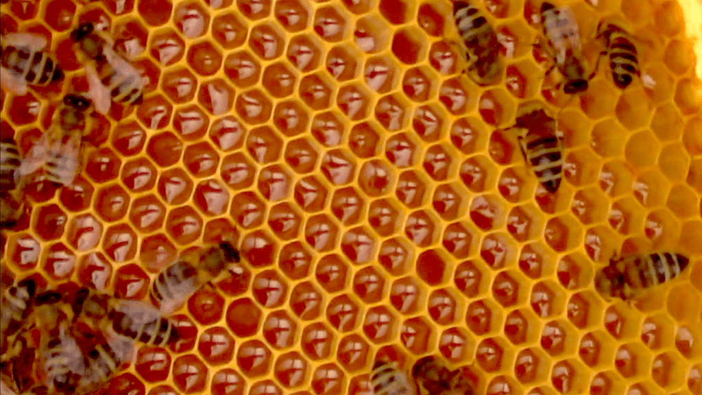 Honeybees on a honey-laden comb. You can see the golden honey contained in yellow hexagonal cells. #BeehiveYourself #WantageHoney #BeesOnComb