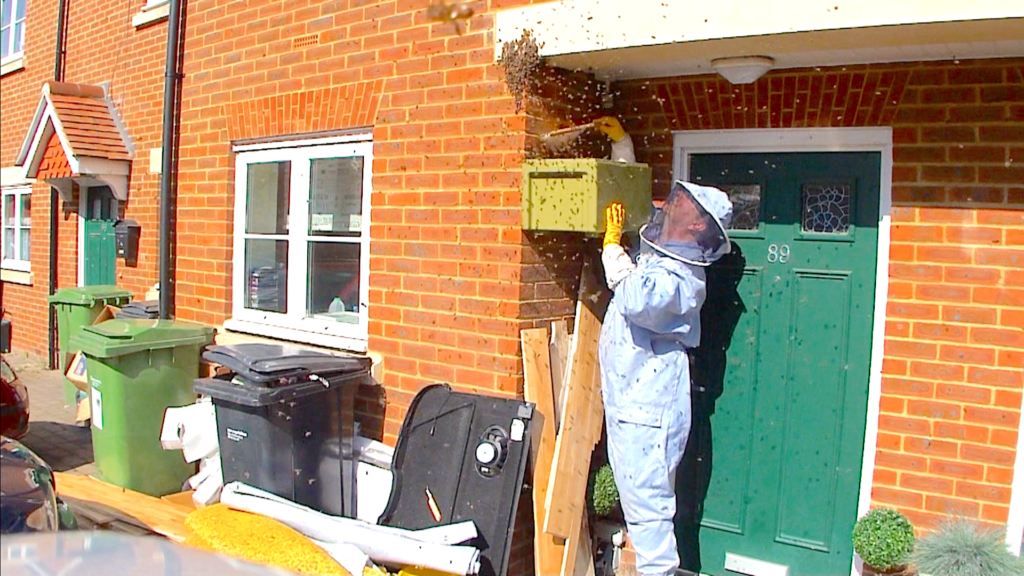 A beekeeper collecting swarm at St Marys Wantage. #BeehiveYourself, #WantageHoney, beehiveyourself.co.uk