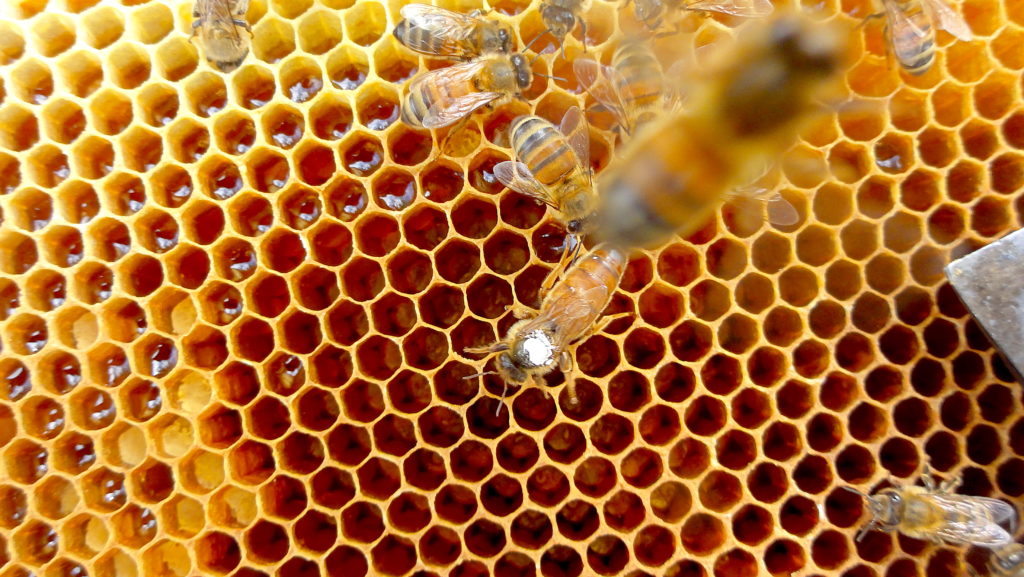 Queen Bee on the Comb. If you look carefully in the cells you will see eggs. #BeehiveYourself, #WantageHoney, #QueenBee, Beehive Yourself, Wantage Honey, Queenbee,