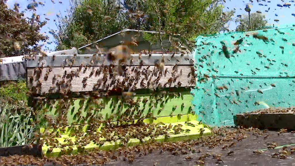 Swarm on wood bunker entering empty hive (parts). I left hive parts on the bunker for a couple of days and a swarm decided to make there home in this makeshift hive. #BeehiveYourself, #WanageHoney, Beehive Yourself, Wantage Honey