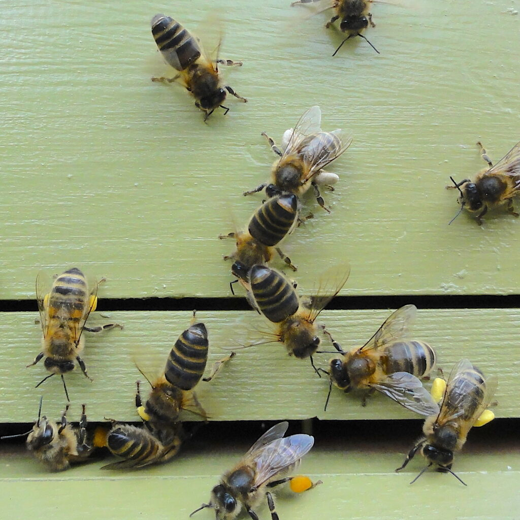 Bees at Entrance to green hive #BeehiveYourself, #WantageHoney, Beehive Yourself, Wantage Honey