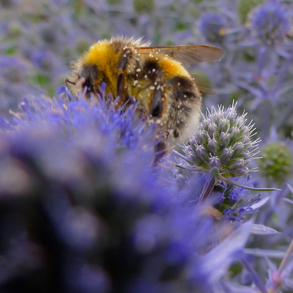 A Bumblebee on eryngium flowers. #BeehiveYourself, #WantageHoney, #Bumblebee, #BummblebeeOnEryngium, Beehive Yourself, Wantage Honey,