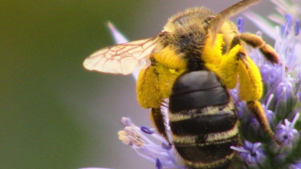 Honeybee with yellow pollen sacks on eryngium flower