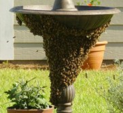 honey_bee_swarm