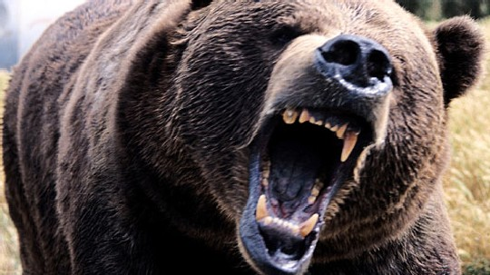 angry-bear-showing-its-jaw
