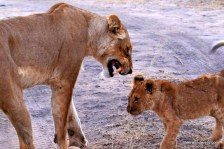 lioness scolds cub