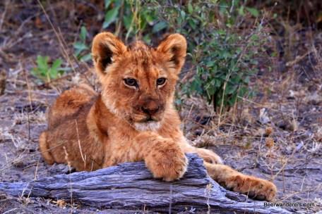 lion cut sitting