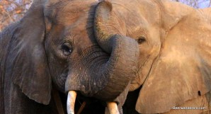 two elephant faces