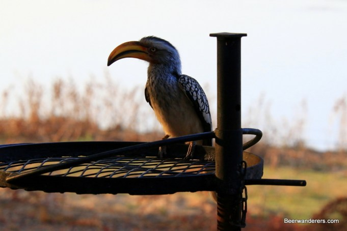 hornbill on grill