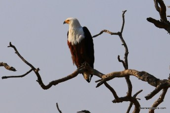 fish eagle in tree