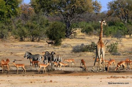 water_hole_kruger_zebras_giraffe