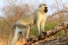 posing white monkey