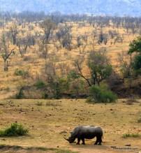 kruger white rhino landscape