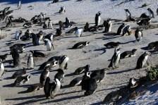 many penguins on beach