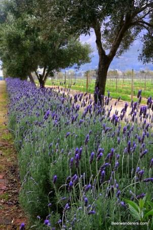 franschoek lavender