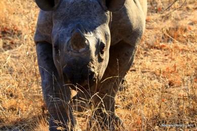 baby black rhino close-up