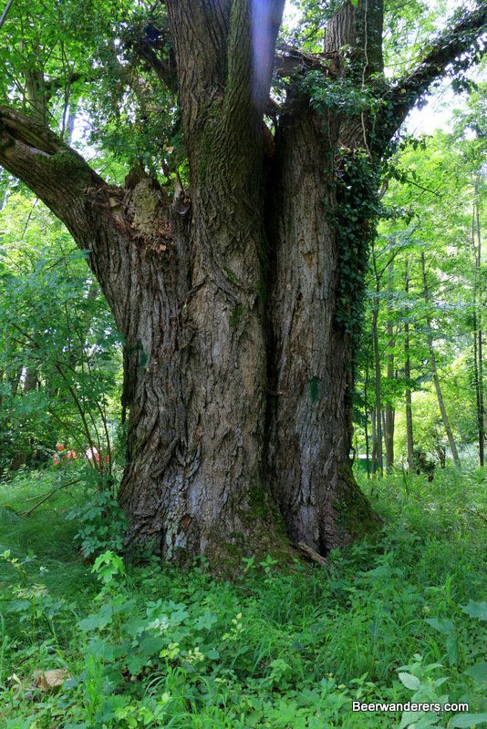 trunk of large old tree
