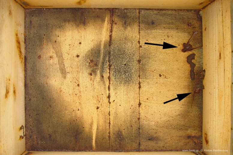Acherontia atropos (Death's Head Hawkmoth) – Αχερόντια