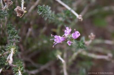 θυμάρι - thymus voulgaris