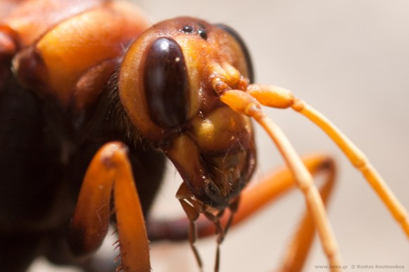 cryptocheilus altenatus κεφάλι / μάτια