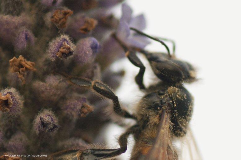 Μέλισσα σε μπουμπούκια λεβάντας Ι