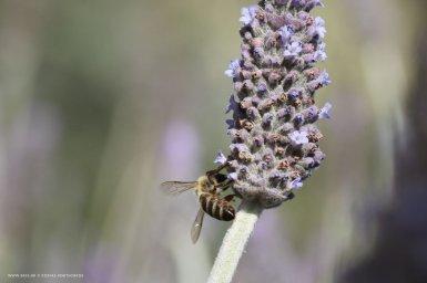 Μέλισσα σε μπουμπούκια λεβάντας ΙΙΙ