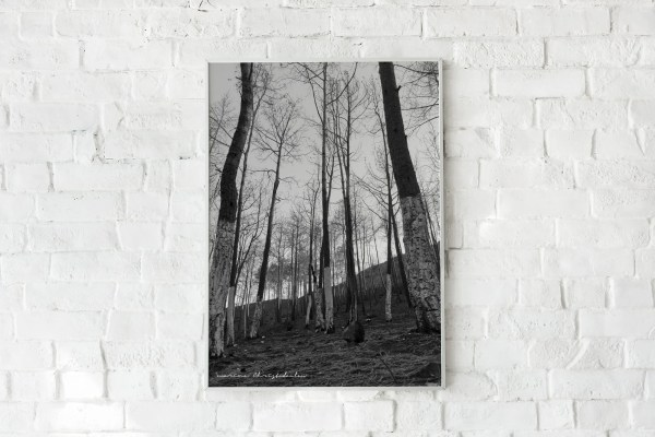 Pine trees photo high quality