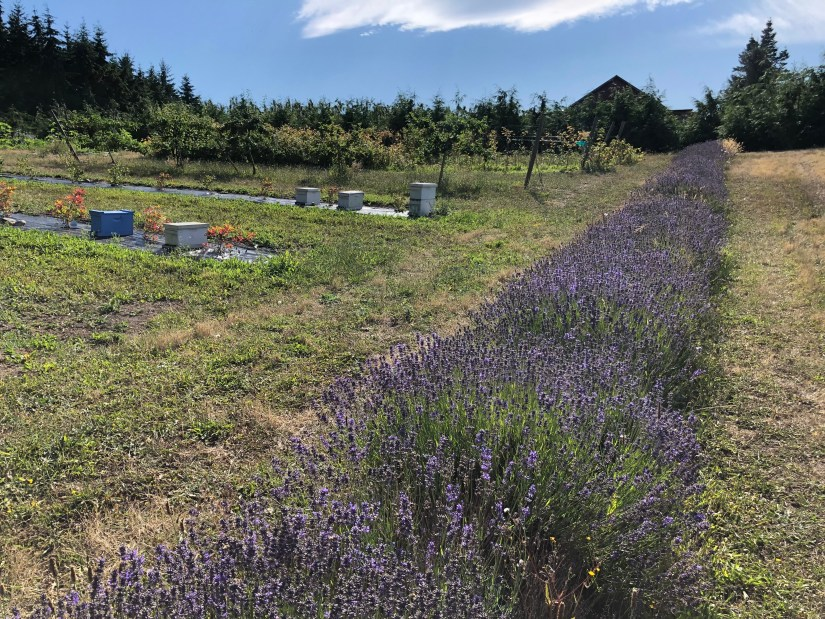 Lavender flowers with beehives in the distance