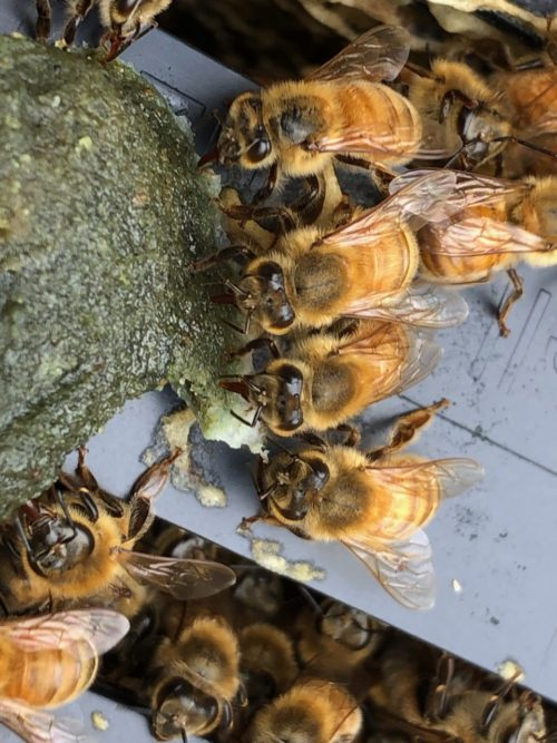bees eating NutriEZpollen patty