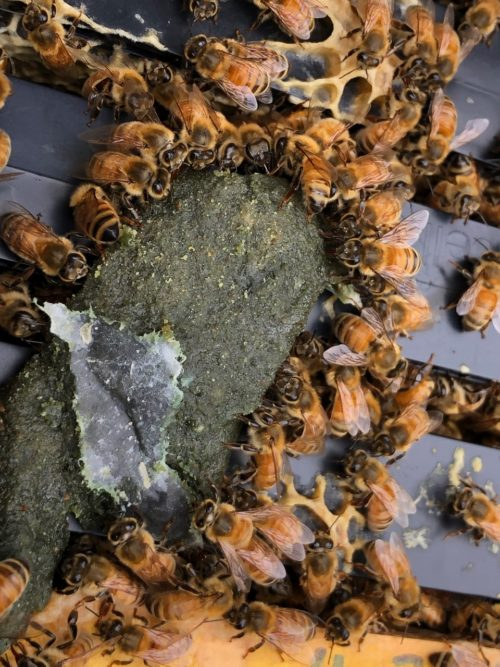 bees eating nutriEZ pollen patty