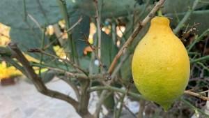 Fresh Lemons in Puglia