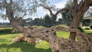 Millenary Olive Tree Puglia