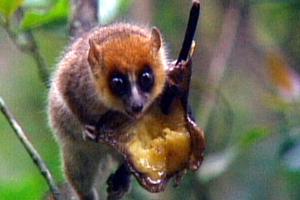 cutest rarest primate