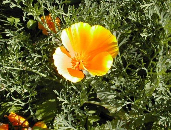 California poppy, Varenna, Lake Como, Italy
