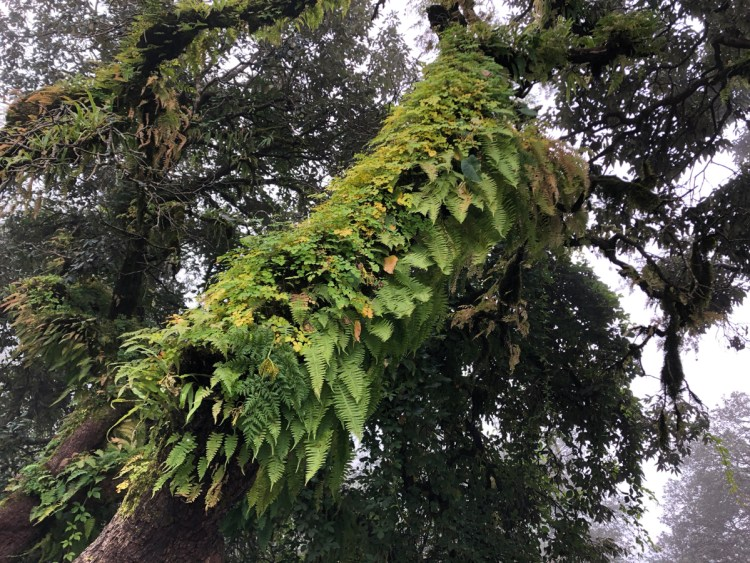 fern-covered tree trunk, Mussoorie.
