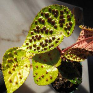 Begonia ferox product image