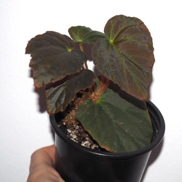 Begonia pavonina product image