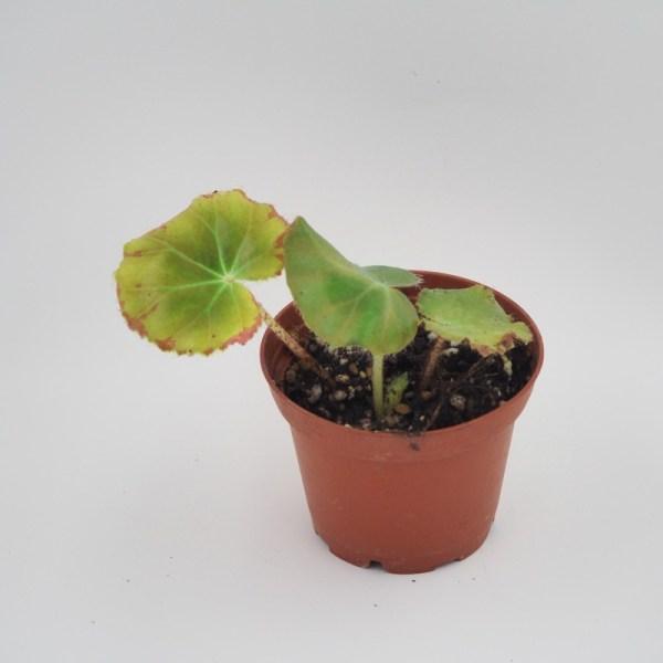 Begonia erythrophylla 2'' pot