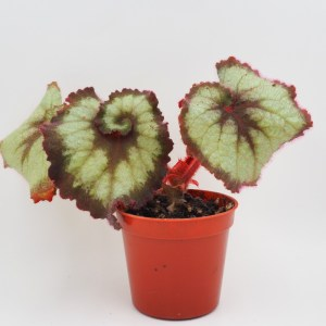 Begonia escargot product image