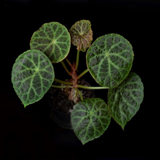 Begonia goegoensis big specimen on black bagkground