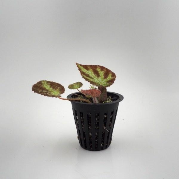 Begonia ningmingensis var. vietnam